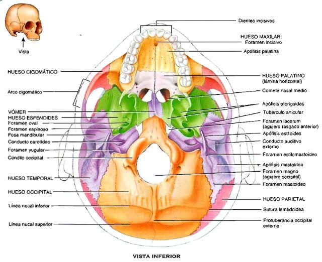 Anatomía del cráneo huesos vista inferior | misalex | Pinterest ...