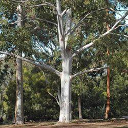 Eucalyptus saligna