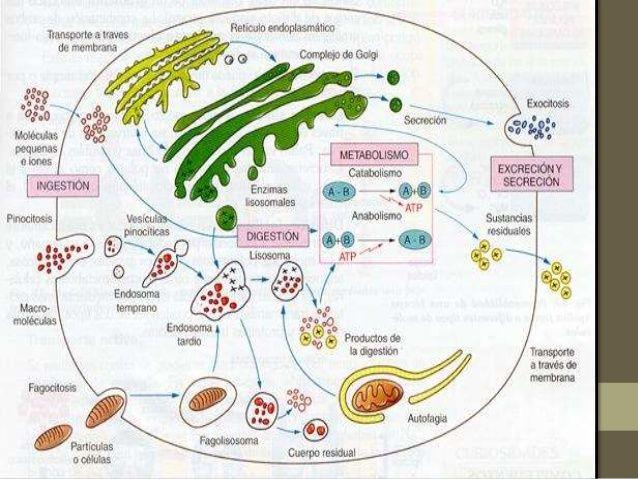 45 Ideas De Metabolismo Celular Metabolismo Celular Metabolismo Respiracion Celular