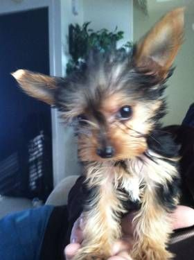 2 Pounds Chorkie Dogs And Puppies Dogs Yorkie Chihuahua Mix