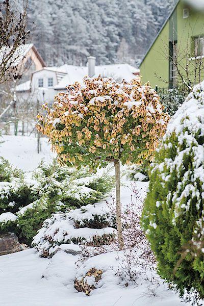 Nevšední ozdoba. Panašovaná odrůda brslenu (Euonymus fortunei), nezvykle zapěstovaná na kmínku, obohacuje záhon u domovních dveří.