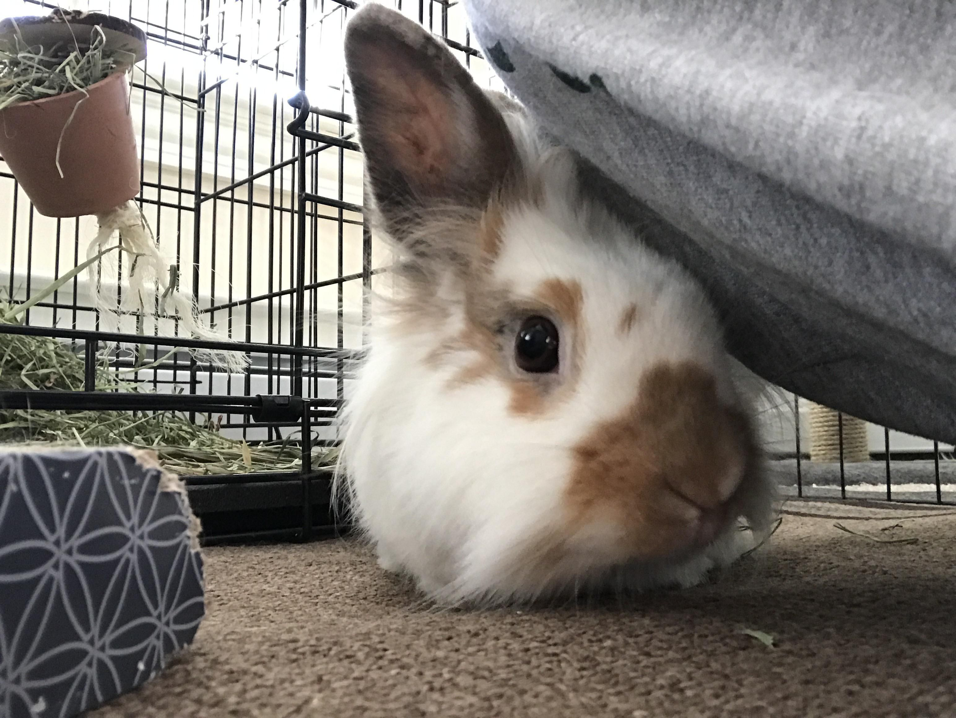 Things You Need To Know Before Buying A Rabbit Rabbit Playpen Rabbit Care Rabbit