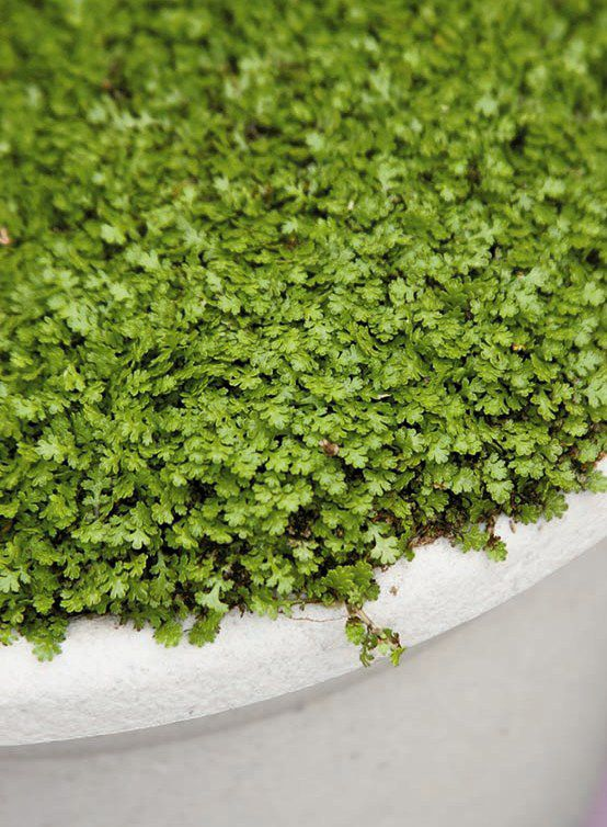 Miniature Brass Buttons Monrovia Miniature Brass Buttons Ground Cover Low Water Landscaping Front Yard Monrovia Plants