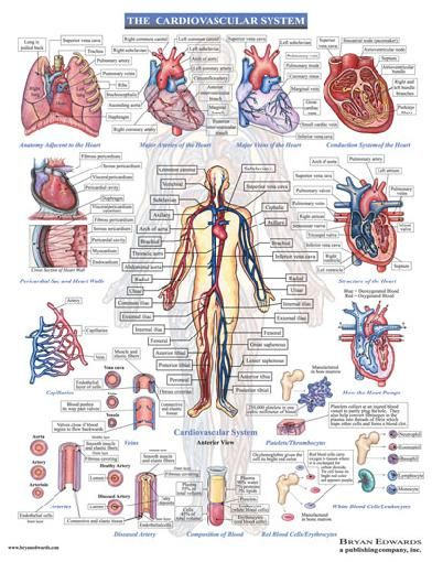Cardiovascular System Diagram With Functions - Car Wiring Diagrams ...