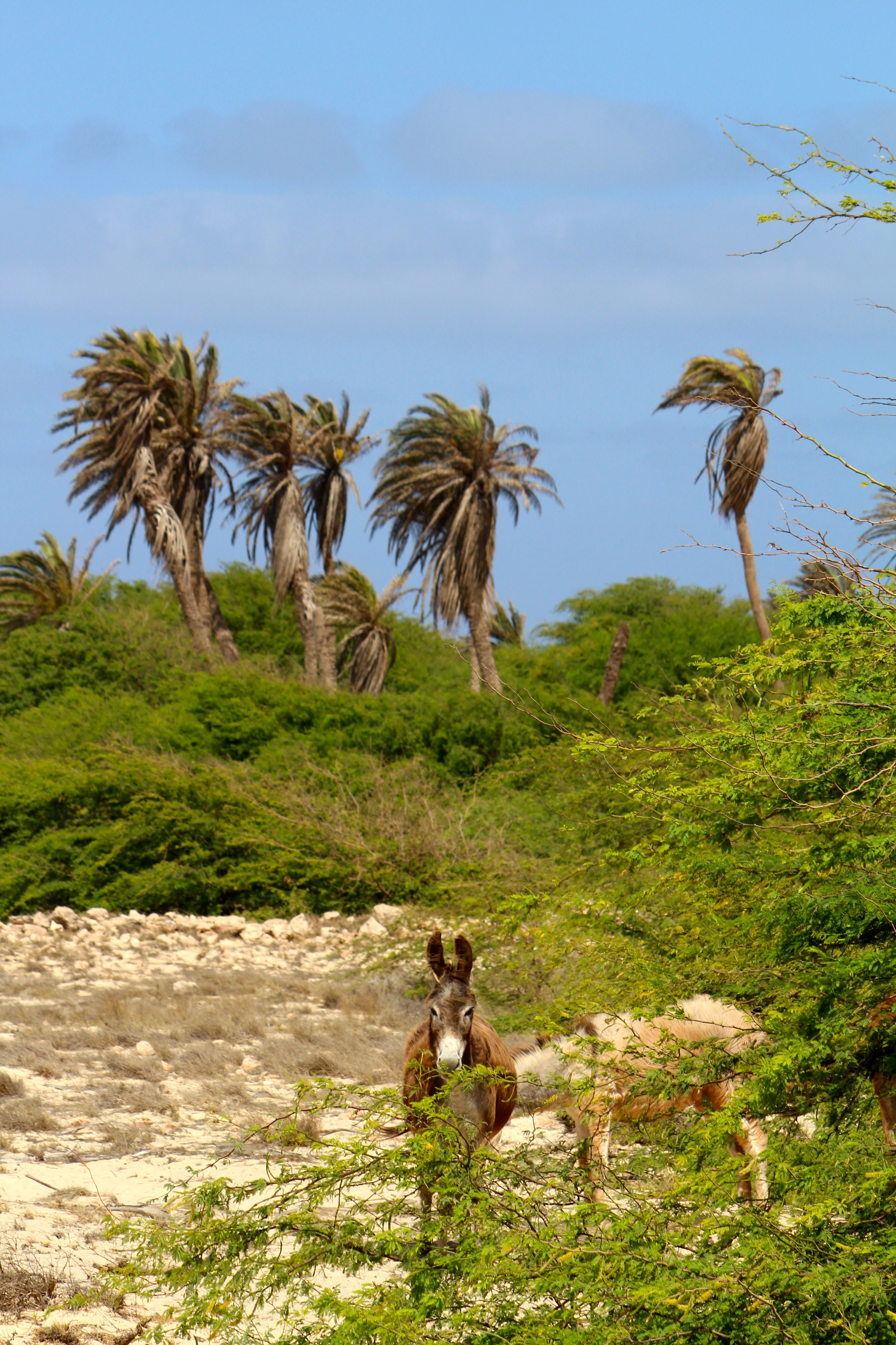 Donkeys Boa Vista Kapverden Cabo Verde Kapverden Urlaub