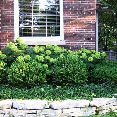 limelight hydrangea with boxwood