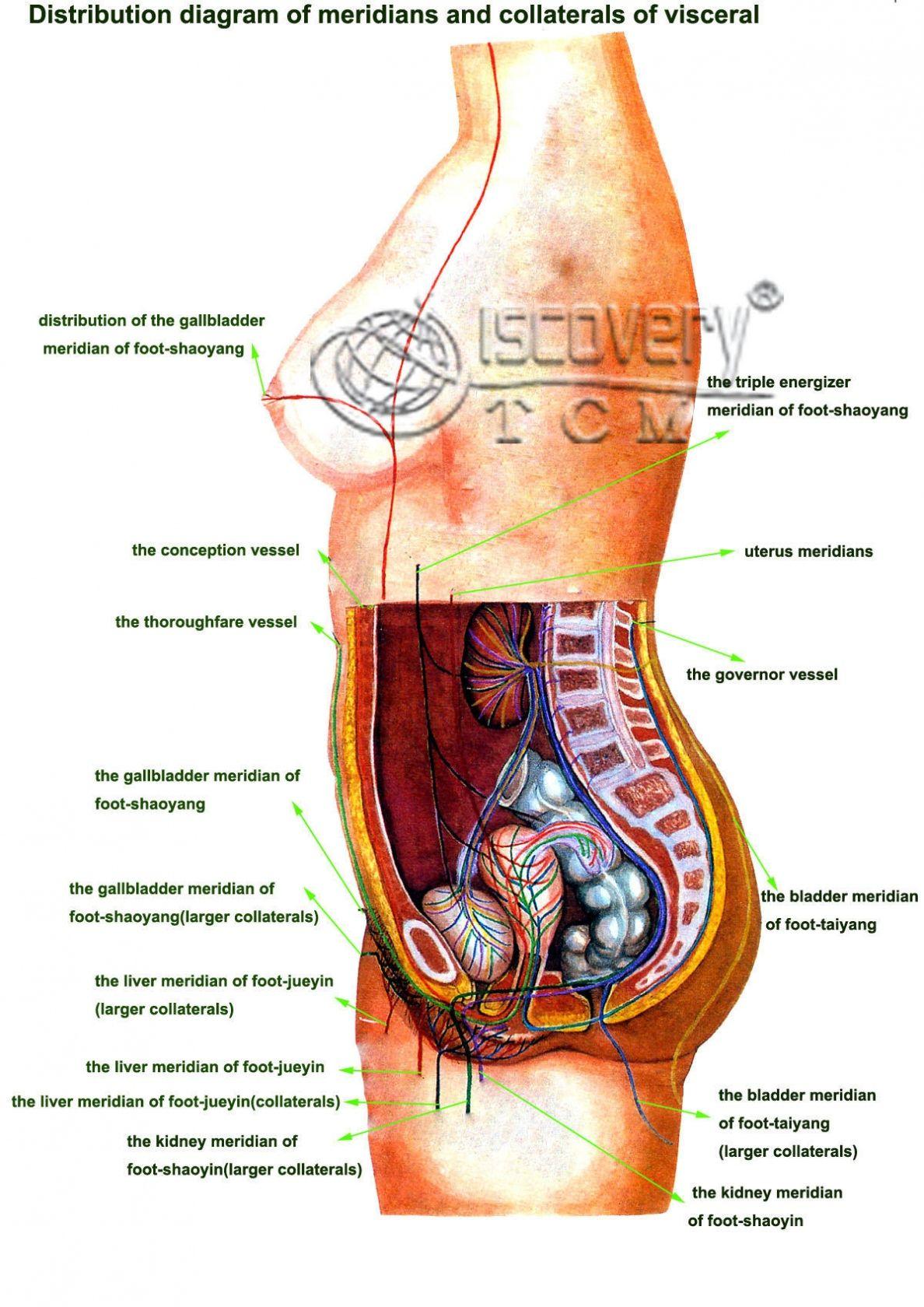 Internal Female Organs Diagram Human Anatomy Drawing Pinterest