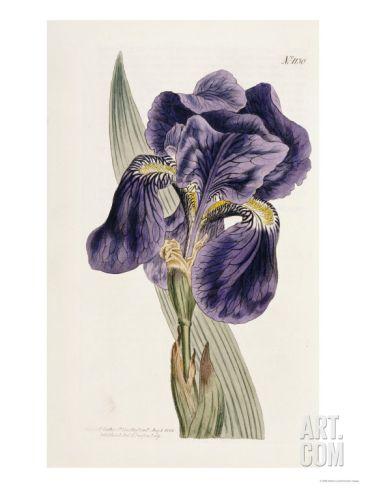 Iris Art Print by William Curtis at Art.com