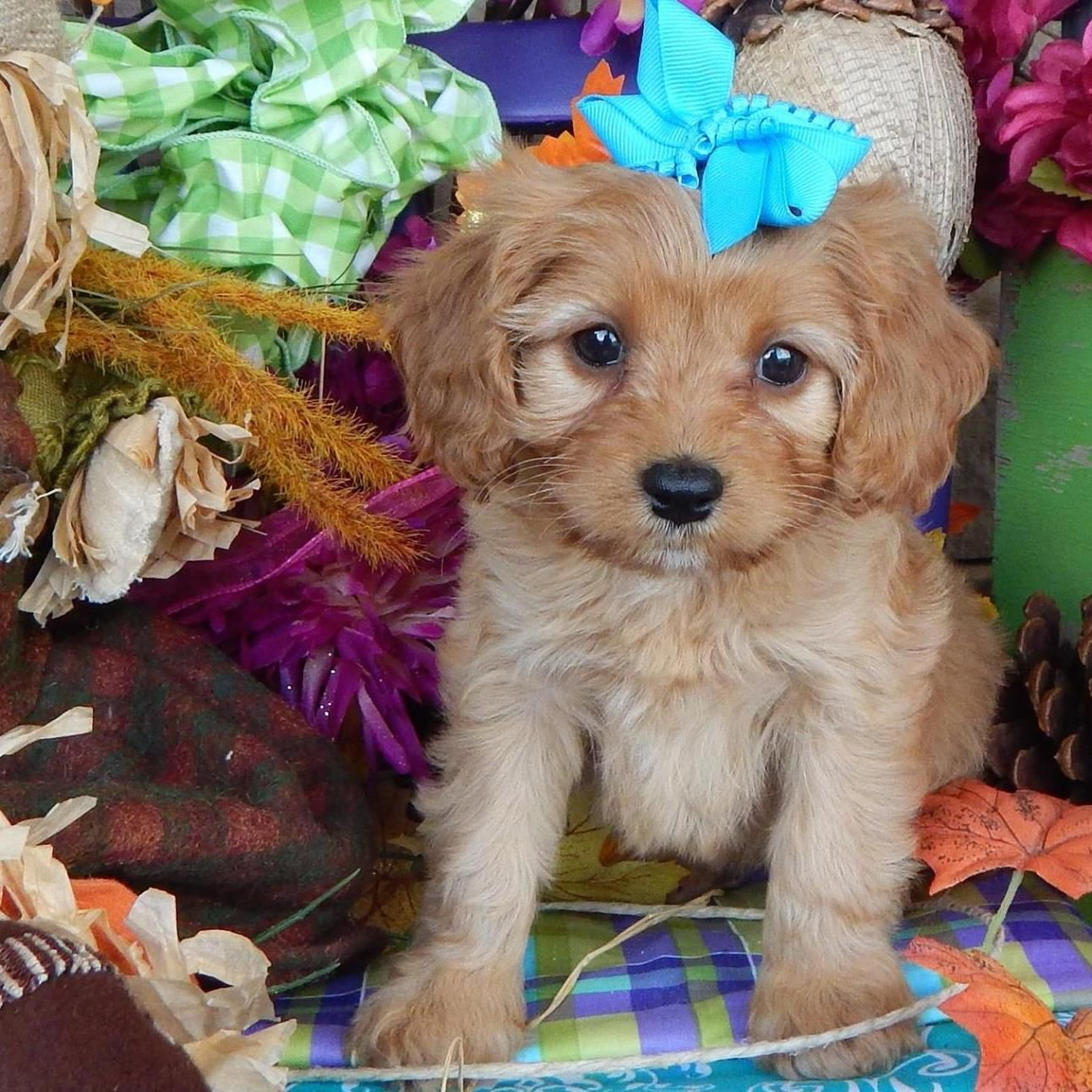 Cavapoo puppies for sale Cavapoo Cavapoos Cavapoo dog Cavapoo