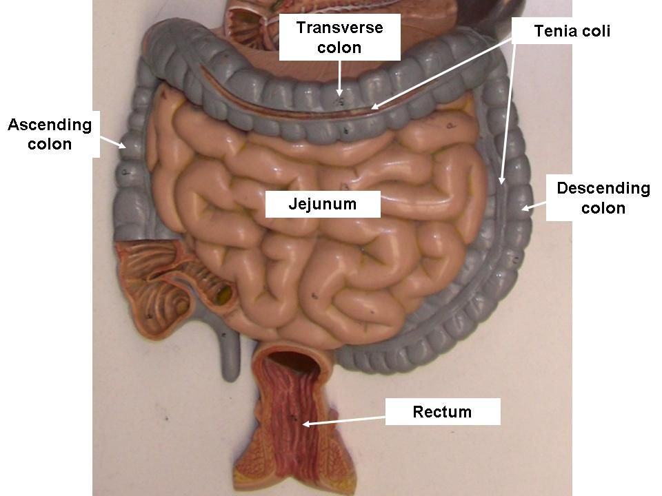 Digestive System Labeled Models - Glands, Stomach, Liver, Pancreas ...