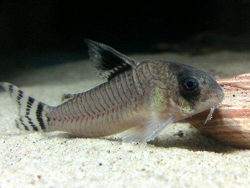 Corydoras Oiapoquensis Tropical Fish Aquarium Fish Freshwater Aquarium Fish