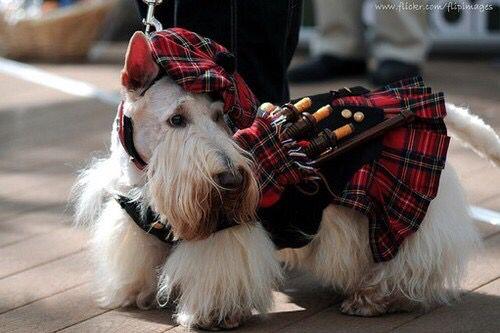 White Scottish Terrier Dog Wearing Kilt Bagpipes Scottish