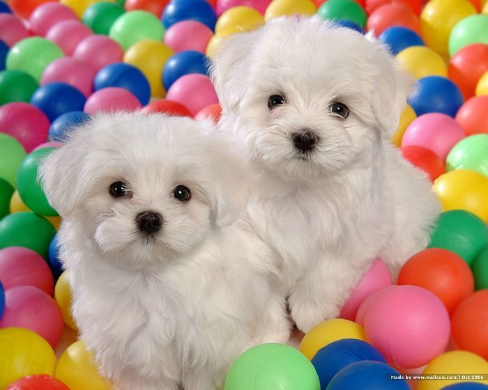 Cuddly White Maltese Puppies Puppy Dogs Animals Pets Cute