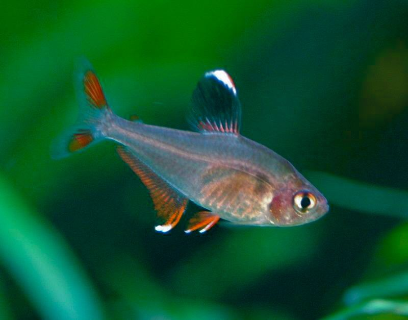 Fish Journal Com Neon Tetra Tetra Fish Aquarium Fish
