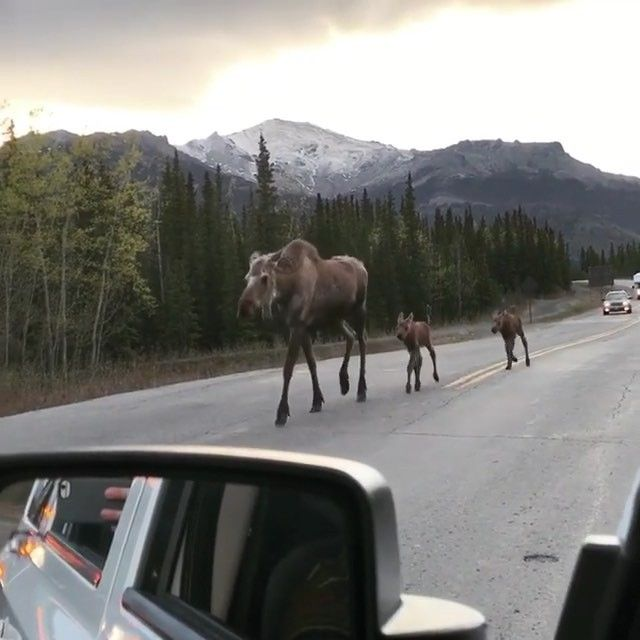 Moose fam taking an evening stroll through Denali... #Alaska you're immense😍 Video by @lauralynphotography Explore. Share. Inspire:…