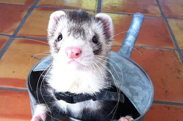 19 Reasons Ferrets Make The Most Adorable Pets Cute Ferrets Funny Ferrets Pet Ferret