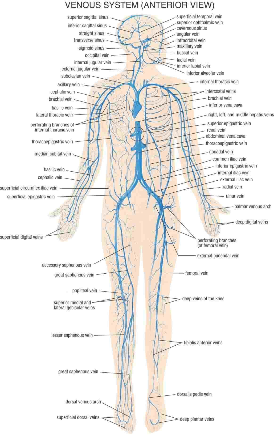 medium resolution of labeled diagram of the nervous system labeled diagram of the nervous system labeled nervous system