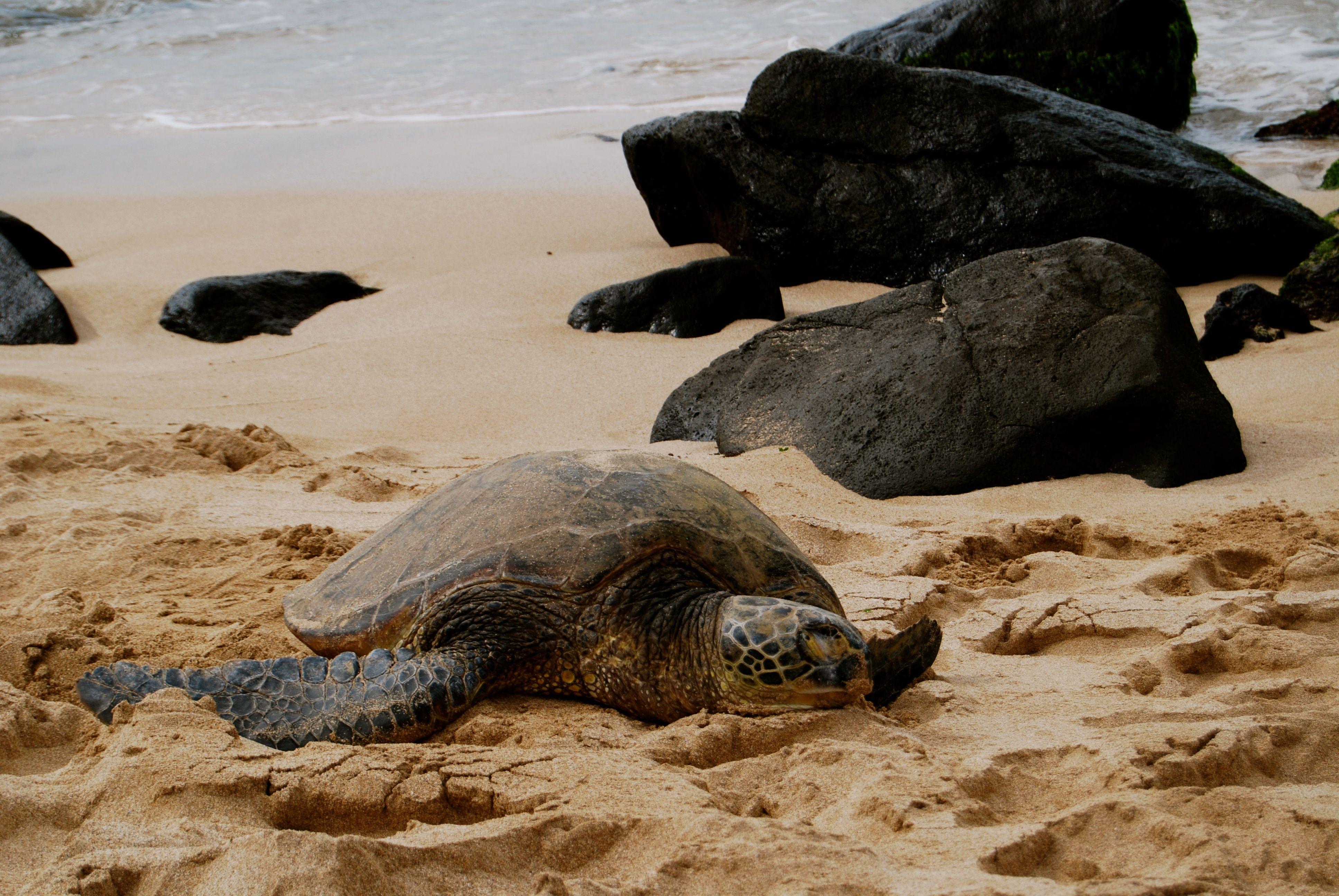 North Shore day trip Turtle Beach, Oahu, HI. Turtle