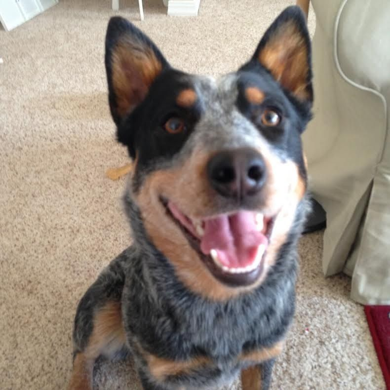 Available dogs - Western Australian Shepherd Rescue (With ...