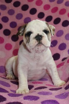 Bulldog Puppy For Sale In Richmond Ky Adn 29605 On Puppyfinder