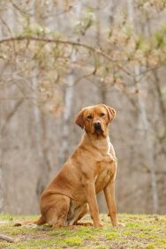Our Dogs Coyland Creek Dogs Retriever Dog Fox Red Lab