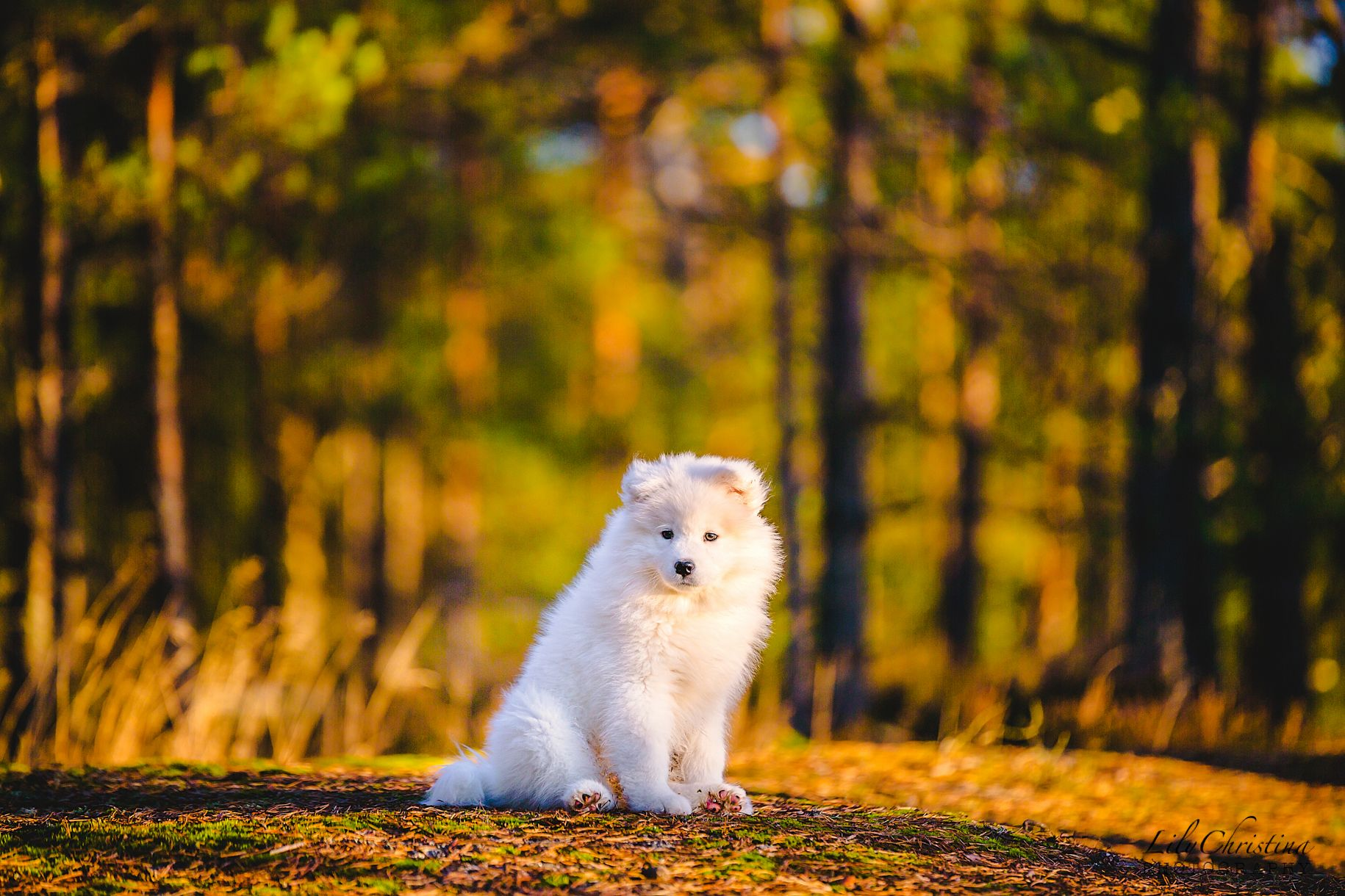 Uusi Perheenjasen Lili Koiranpentu Samojedi Koiranpennut