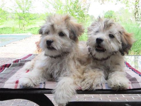 Cutest Identical Twin Havanese Pups Born In The Same Sac With