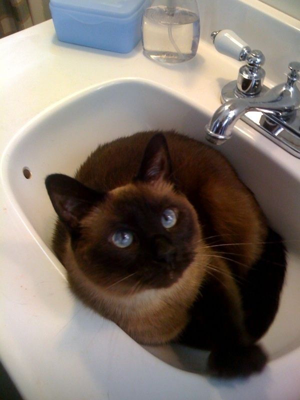Jacuzzi Bathroom Sinks Used To Have A Cat That Slept In The Bathroom Sink Cats Siamese Cats Cat Box