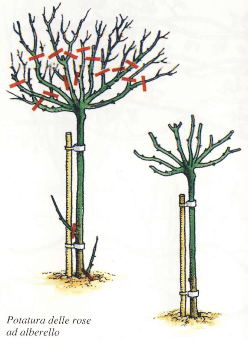 Come potare le rose cura delle rose cura delle piante for Potatura del melo