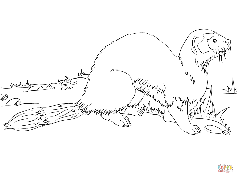 Black Footed Ferret Or American Polecat Coloring Pages Png 1228 916 Coloring Pages Animal Coloring Pages Black Footed Ferret