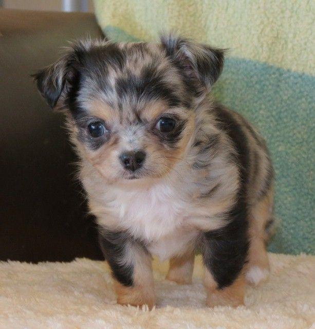 Pofahls Finding Nemo Black And Tan Longcoat Merle Chihuahua Puppy My New Upcoming Stud Pet Dogs Puppies Chihuahua Puppies Cute Chihuahua