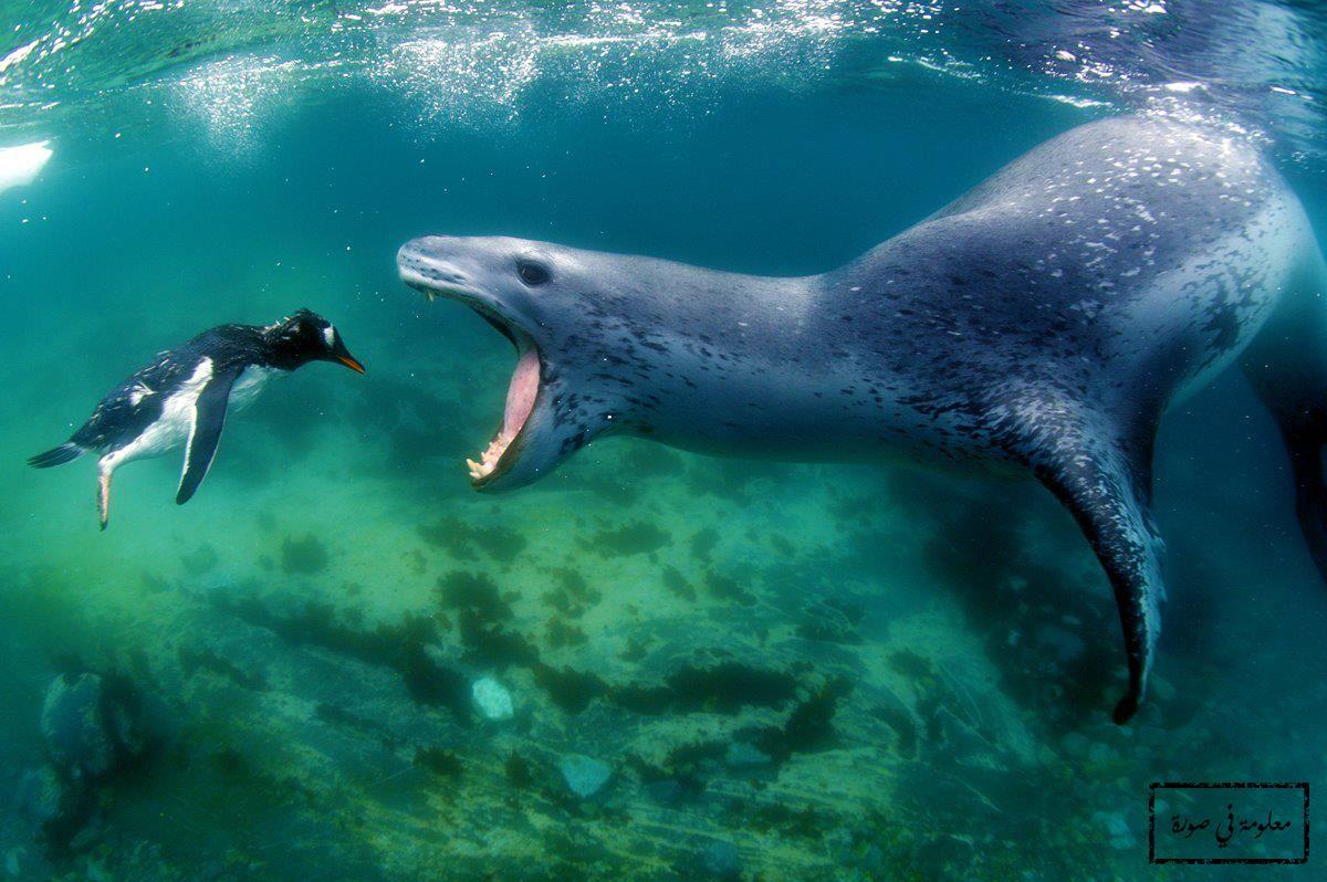 فقمة النمر هي حيوان ثدي يعيش قرب سواحل القارة القطبية الجنوبية كما يمكن أن يتواجد قرب السواحل الجنوبية لأستراليا وأمريكا الج Leopard Seal Animals Animal Photo