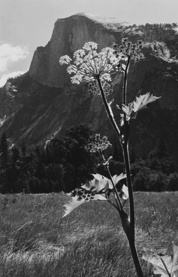 UNTITLED ( FLOWERING PLANT WITH MOUNTAIN RANGE) | Ansel Adams | 1930