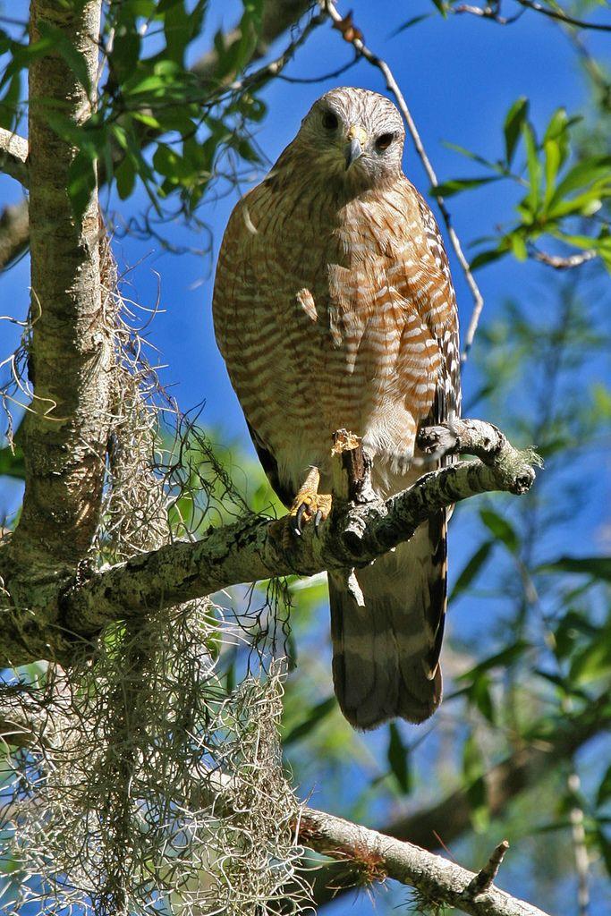 Sharp-Shinned Hawk // Épervier brun -