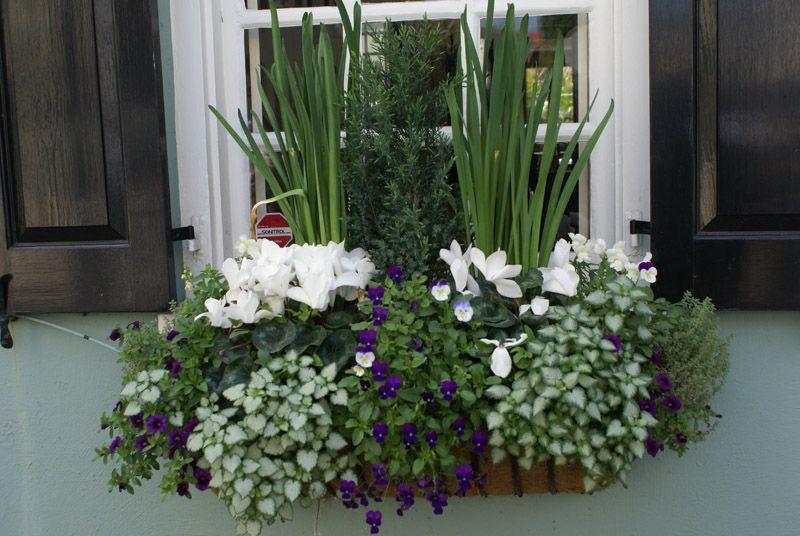 Mild Winter Window box. Cyclamen, lobelia trailing plants ...