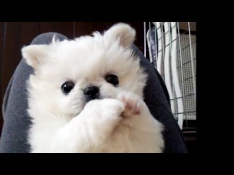 仰向けペキニーズの子犬 (Pekingese) , YouTube