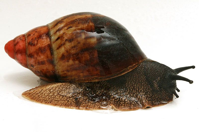 Galerie Formy Archachatina Marginata Egregia Cameroon Typ 1c Pet Snails African Snail Snail