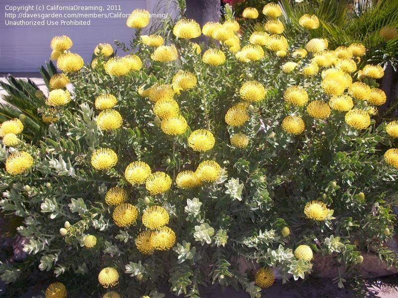 Full Size Picture Of Pincushion Protea Nodding Pincushion Yellow Bird I Leucospermum Cordifolium I Protea Plant Landscaping Plants Yellow Bird