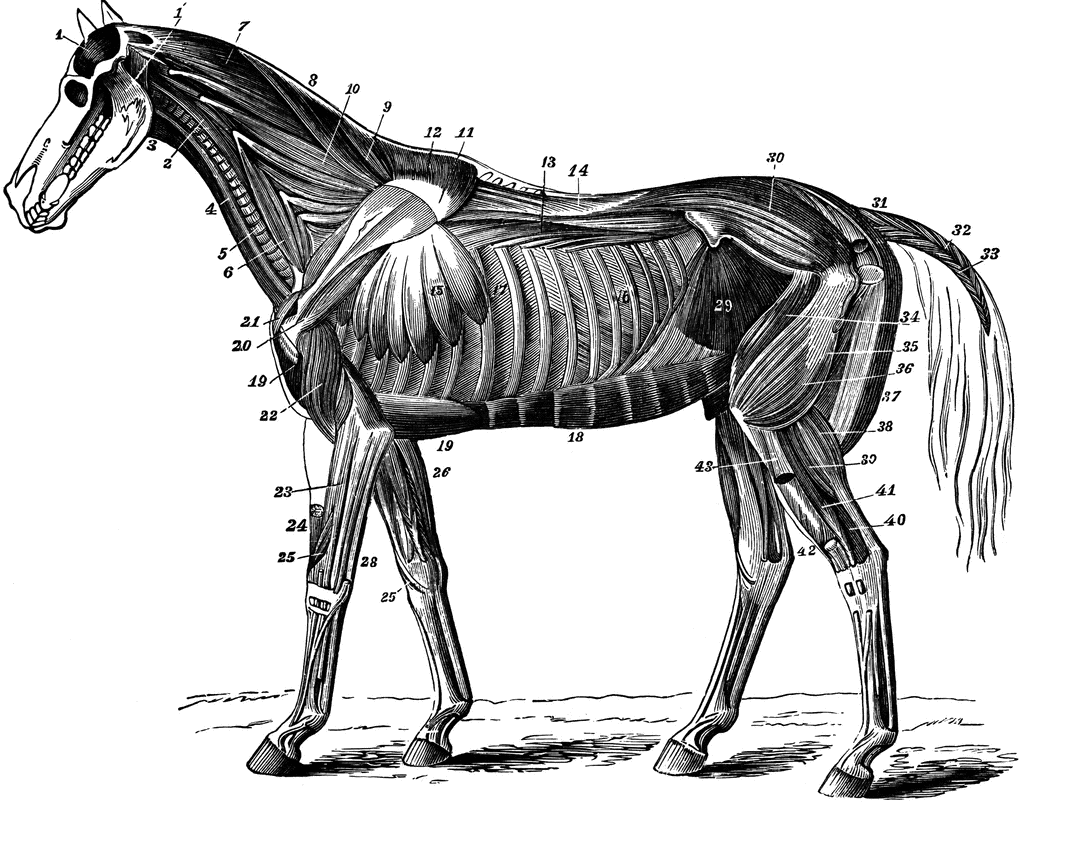 The Muscular System of the Horse. | The Animated Horse Inspiration ...