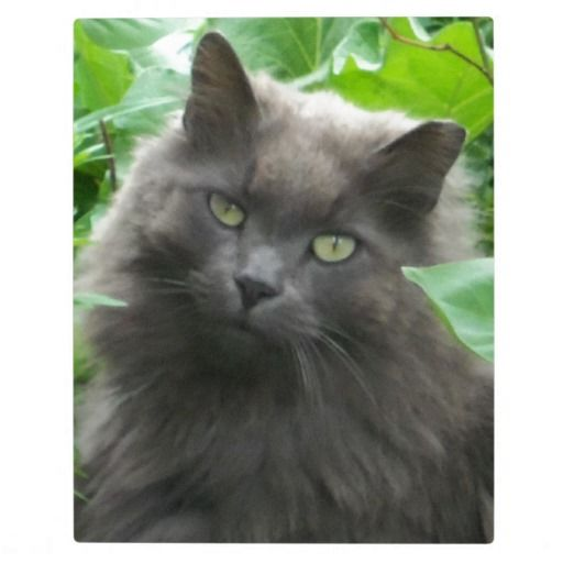 Long Haired Gray Russian Blue Cat Plaque Zazzle Com Russian