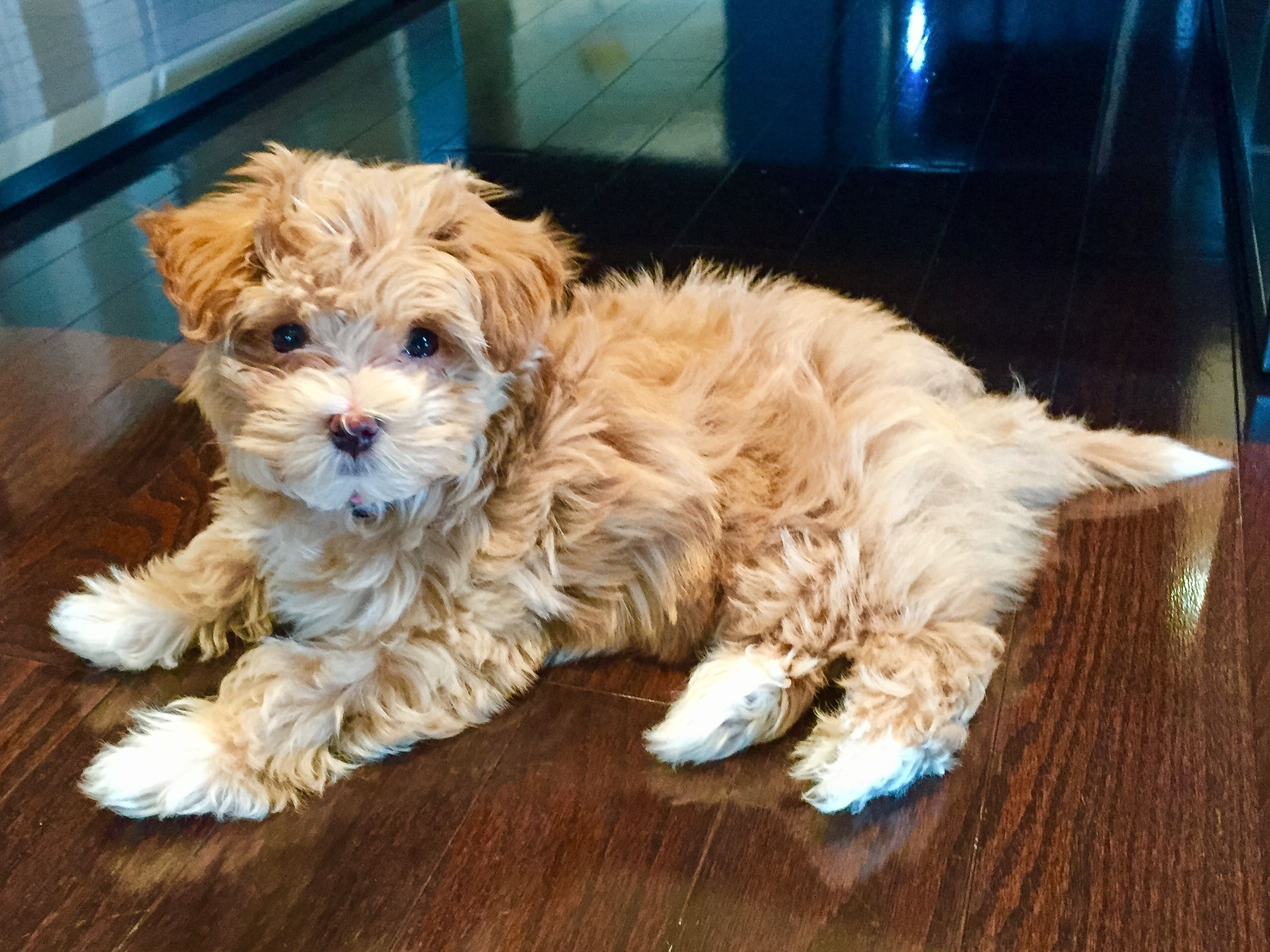 Havapoo Poovanese Havapoo Puppies Cute Dogs Poodle Mix Dogs