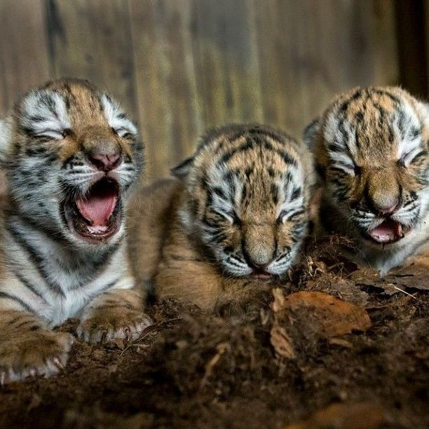 Amur Tiger Triplets born at Nordens Ark Zoo in Sweden. #amurtiger #tiger #sweden #nordensark