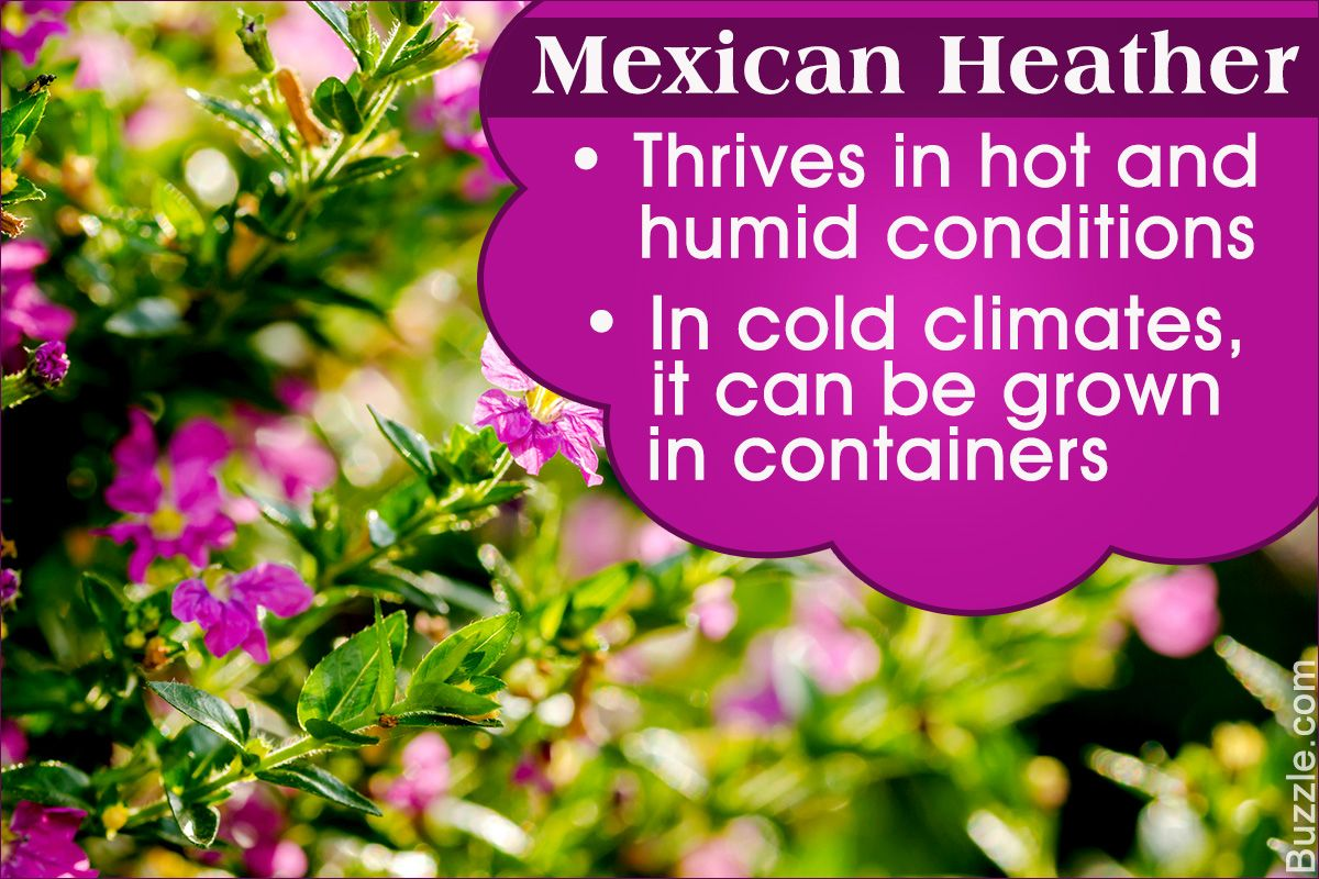 Mexican Heather Is A Tropical Shrub That Can Be Grown In A Container Indoors Or Outdoors In Warm Climates It P Heather Plant Purple Plants Ornamental Plants