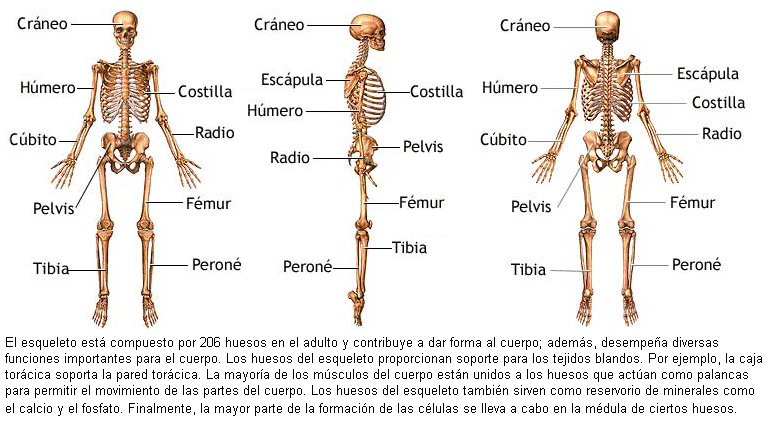 Dorable Anatomía Hueso De La Pierna Patrón - Anatomía de Las ...