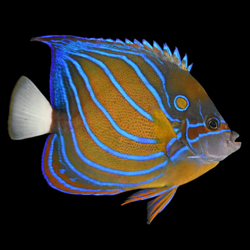Blue Ring Angelfish For Sale Order Online Petco In 2020 Angel Fish Marine Aquarium Fish Aquarium Fish For Sale