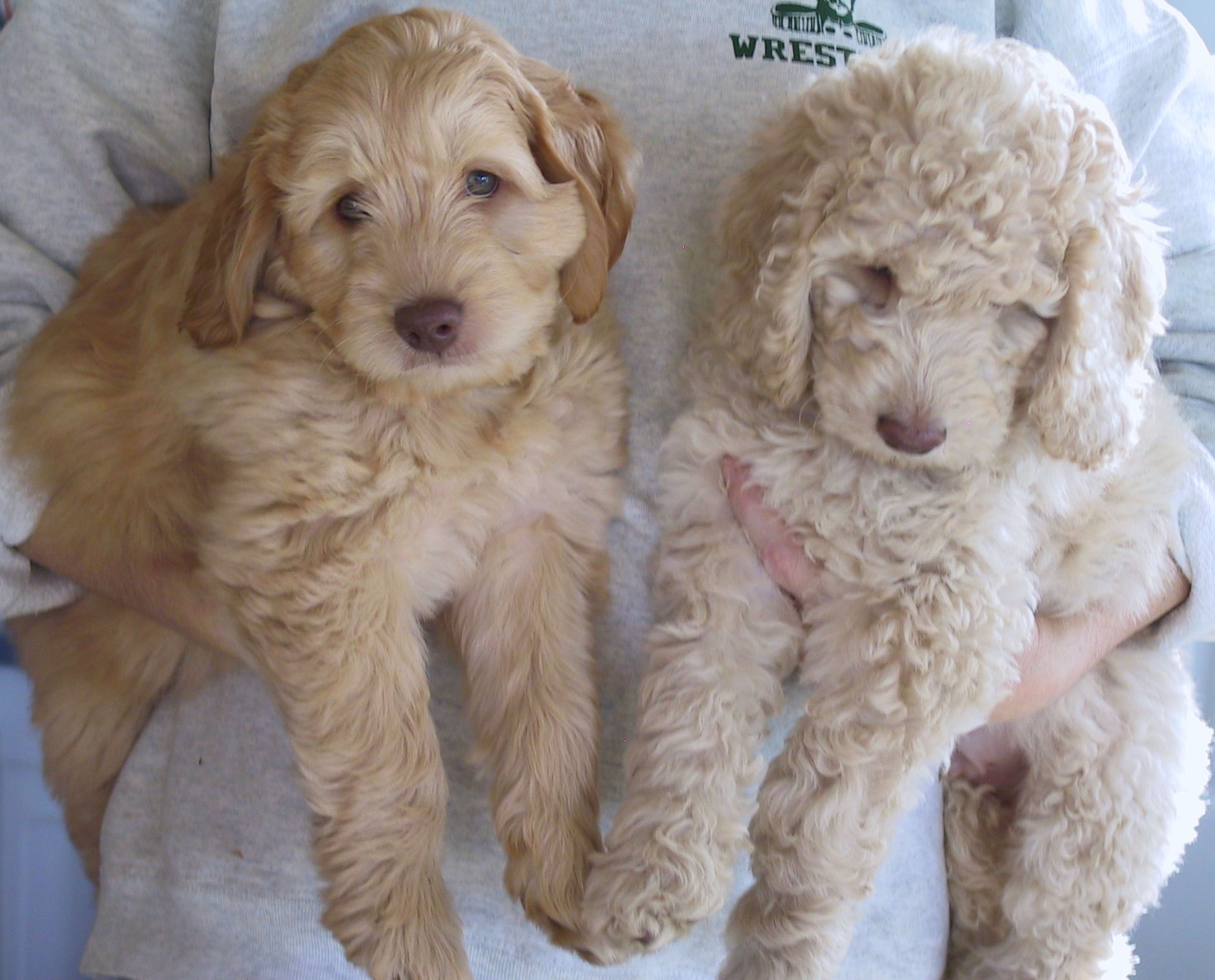 Pic Of Labradoodle Example Of Coat Differences In The Same