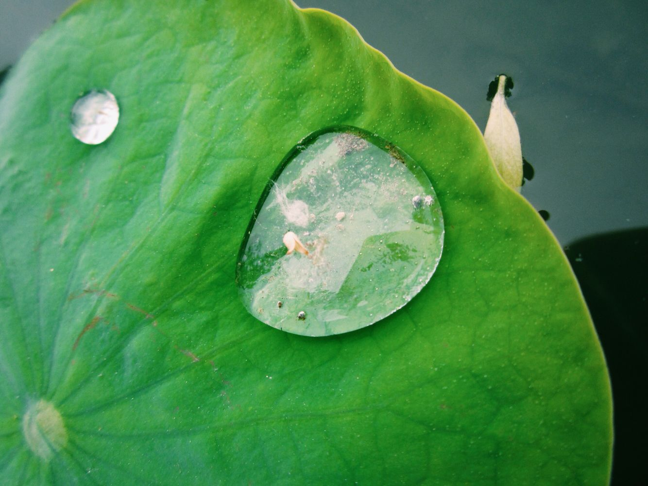Water Drops In The Leaf