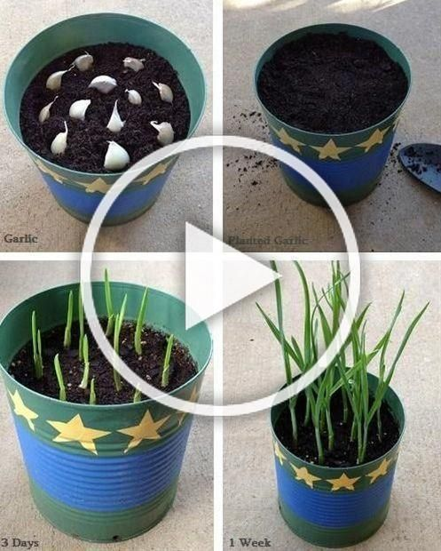 #frugalmom #growing #garlic #scraps #table #fromGrowing Garlic from Table Scraps! - 1FrugalMom Growing Garlic from Table Scraps!   - 1FrugalMomGrowing Garlic from Table Scraps!   - 1FrugalMom
