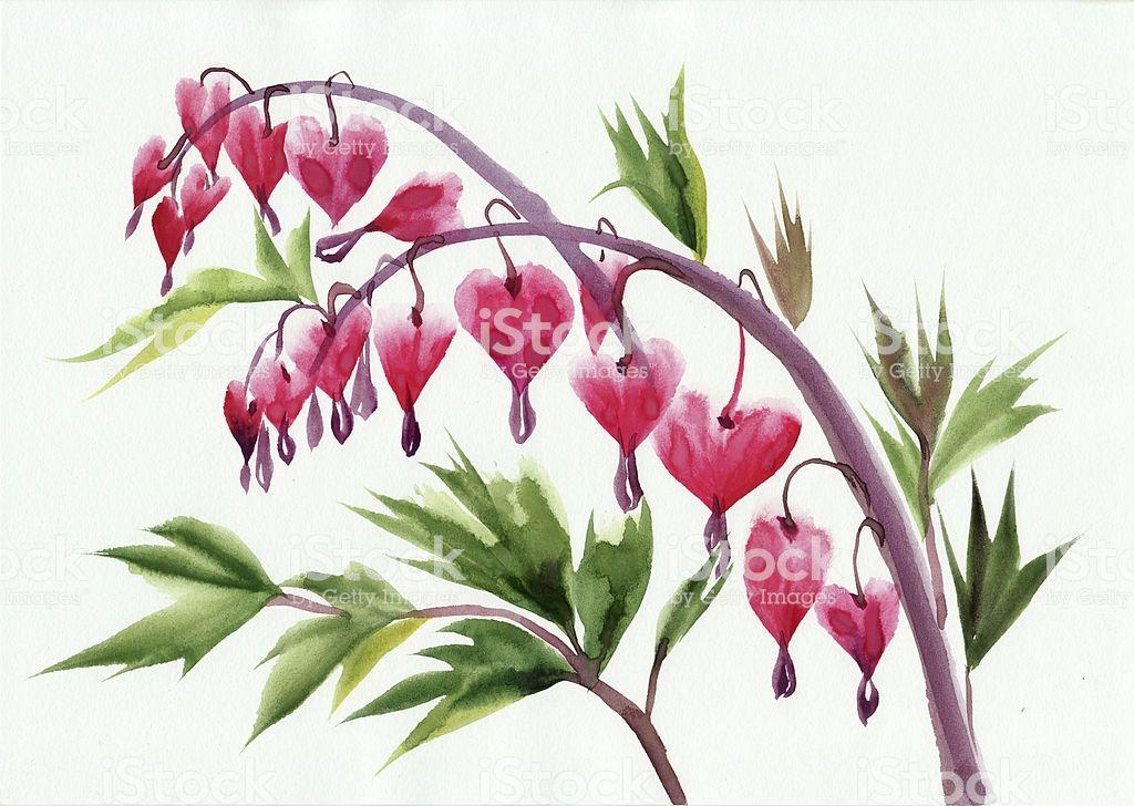Watercolor Original Style Painting Of Bleeding Hearts Flowers Bleeding Heart Flower Plant Sketches Flower Drawing