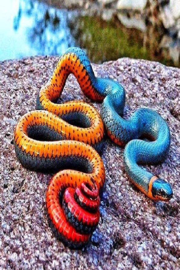 The RingNecked Snake (Diadophis Punctatus) Ring Necked